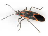 Boxelder Bug Treatment