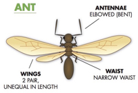 Winged ant control