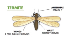 Winged Termite treatment